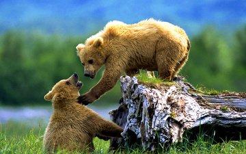 животные, медведи, аляска, медвежата, дикие животные, бурые