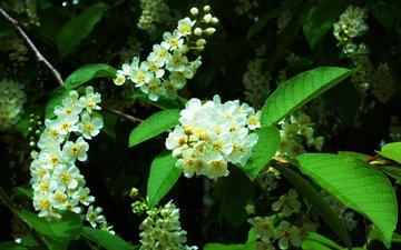 цветение, весна, деревь, черемуха, prunus, padus