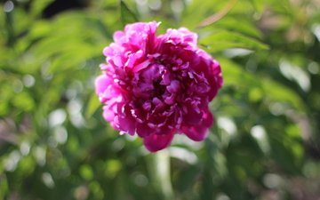цветы, цветок, лето, пион
