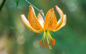 цветок, лепестки, тычинки, лилия