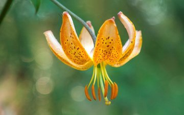 flower, petals, stamens, lily