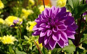 цветок, фиолетовый, цветы, георгин, лиловая