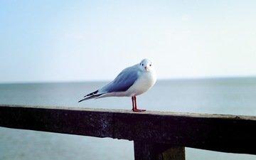 чайка, птица, животное
