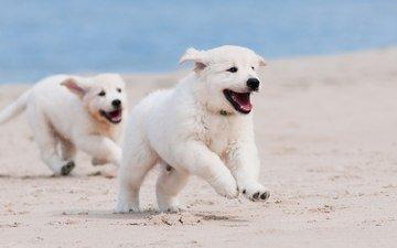 песок, белый, щенок, песик, бег