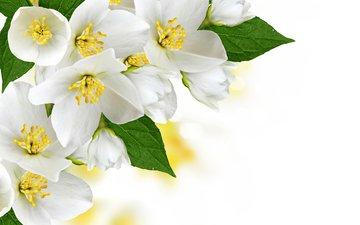 цветы, цветение, белые, деревь, жасмин, цветущий