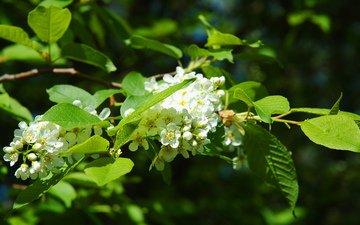 цветы, цветение, листья, весна, деревь, черемуха