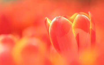 macro, bud, tulip