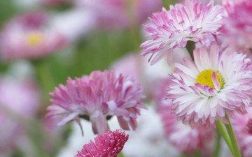 цветы, розовый, цветы, маргаритки, цветком, пинк