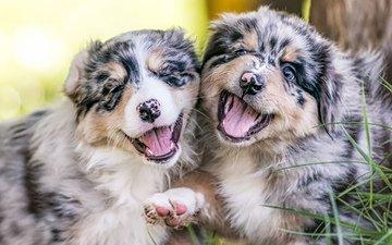 пара, щенки, австралийская овчарка