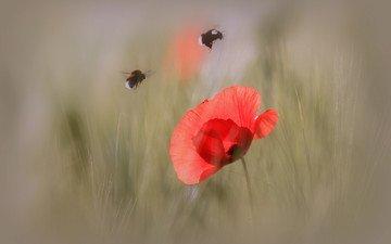 макро, насекомое, цветок, лепестки, мак, шмель