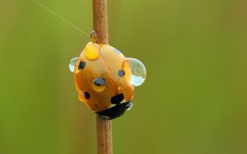 water, insect, rosa, drops, ladybug, stem