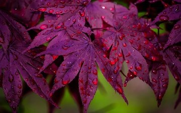 leaves, macro, drops, maple