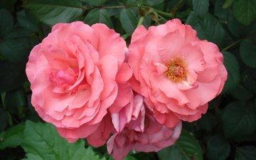 цветы, розы, розовые, роз, пинк