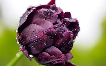 роса, фиолетовый, бутон, тюльпан