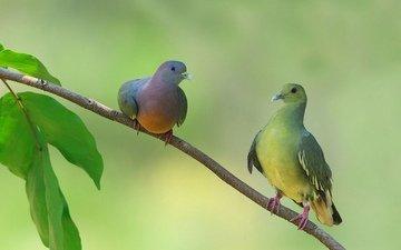 на ветке, два, сидят, голубя