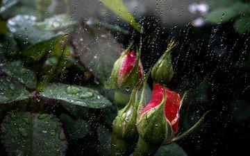 цветы, бутоны, капли, розы, дождь, роз, цветком