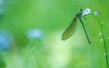 цветы, зелень, макро, насекомое, стрекоза, незабудки