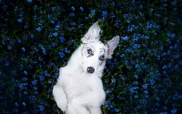 цветы, взгляд, собака, щенок, друг, бордер-колли, alicja zmysłowska