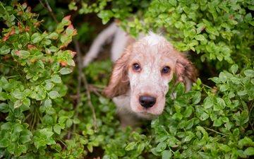 зелень, кусты, взгляд, собака, английский, кокер-спаниель, cобака, caroline cornil