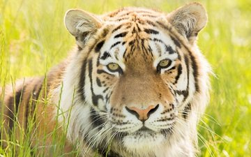 tiger, face, portrait, predator, wild cat, amur