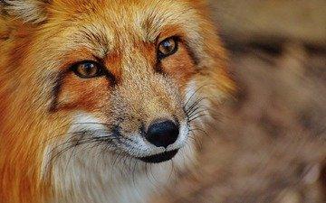 морда, взгляд, лиса, хищник, лисица, лис