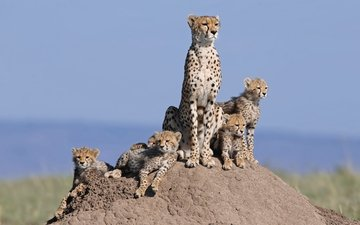 cats, family, hill, cheetahs, cubs