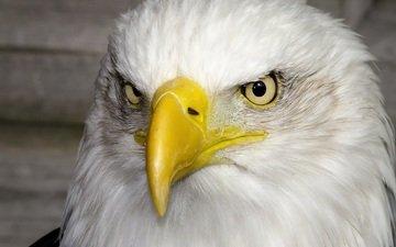 портрет, хищник, птица, клюв, красавец, белоголовый орлан, гордый