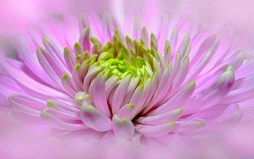 макро, цветок, розовый, георгин