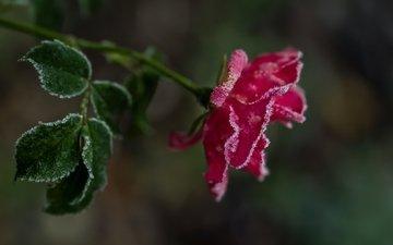 цветок, мороз, иней, роза, красная