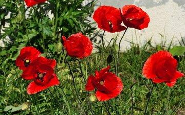 цветы, красные, маки, весна, краcный, poppy, весенние