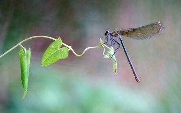 листья, макро, насекомое, лето, стрекоза, растение, стебелёк