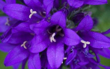 цветы, природа, макро, колокольчики, боке