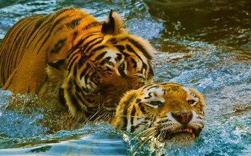 тигр, вода, игра, пара, зоопарк