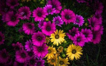жёлтая, желтые, фиолетовые, ромашек, маргаритки, лиловая
