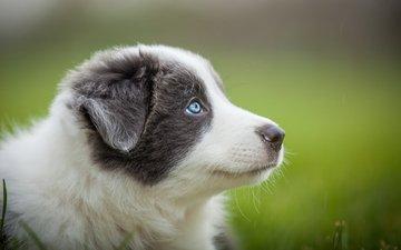 портрет, собака, серый, размытость, щенок, голубые глаза, австралийская овчарка, аусси