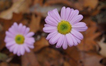 цветы, осень, розовые, боке, цветы, осен, маргаритки, пинк