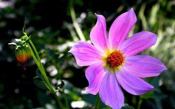 цветы, макро, цветок, лепестки, розовый, космея, цветком
