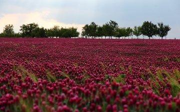 небо, цветы, деревья, природа, поле, на природе, цветы, лиловая