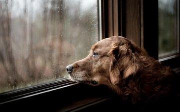грусть, взгляд, собака, дом, окно, друг, ожидание, золотистый ретривер, rainy days, tom landretti