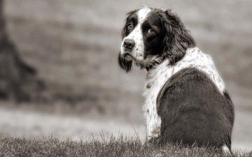 грусть, взгляд, собака, друг