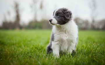 трава, собака, серый, луг, щенок, аусси