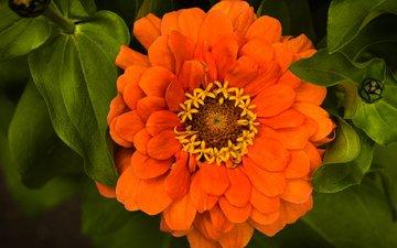 листья, макро, цветок, оранжевый, цинния