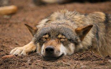 природа, спит, волк, quiet-bliss