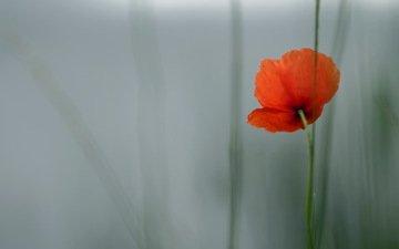 природа, цветок, лето, красный, мак