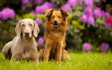 цветы, фон, лето, пара, собаки, клумба, веймаранер, золотистый ретривер, друганы