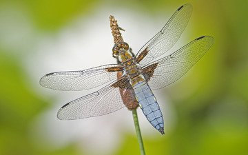 macro, insect, wings, dragonfly