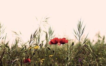 цветы, поле, лето, маки, полевые