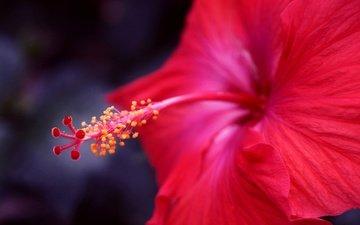 фокус камеры, макро, цветок, красный, гибискус