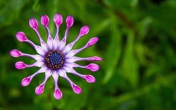 природа, макро, цветок, лепестки, фиолетовый, зеленый фон, цветком, african spoon daisies