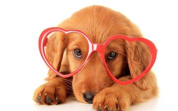 взгляд, очки, собака, щенок, бокалы, песики, ретривер, золотистый ретривер